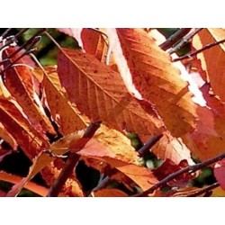 Carpinus caroliniana 'Red Fall'