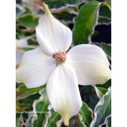 Cornus kousa 'Wolf Eyes' - summer flower bracts
