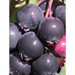 Amelanchier alnifolia 'Smokey' - fruit