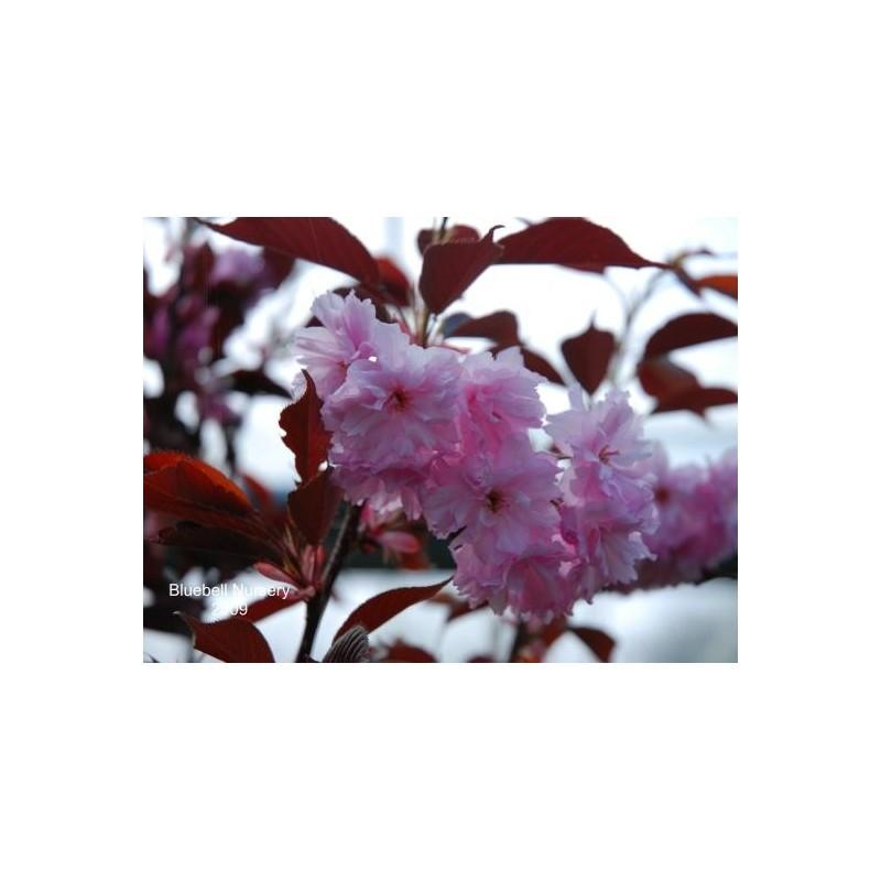Prunus serrulata 'Royal Burgundy' - spring flowers