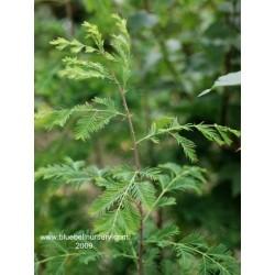 Metasequoia glyptostroboides 'Sheridan Spire'