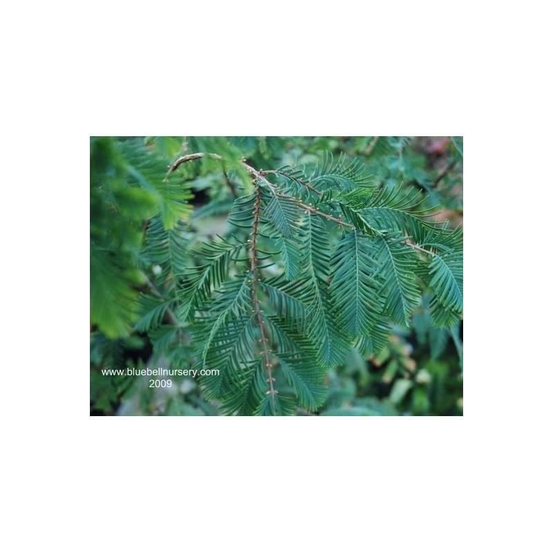 Metasequoia glyptostroboides 'Little Giant'