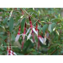 Fuchsia magellanica 'Lady Bacon'