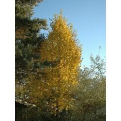 Carpinus betulus 'Frans Fontaine' - autumn colour