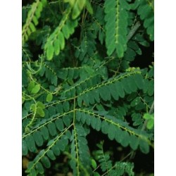 Gymnocladus chinensis - summer leaves