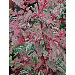 Acer x conspicuum 'Red Flamingo' - red stems and mottled leaves