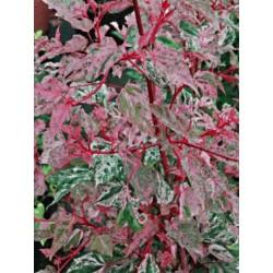 Acer x conspicuum 'Red Flamingo'