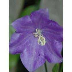 Campanula persicifolia 'Coerulea'