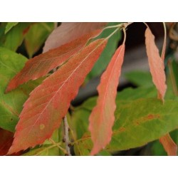 Quercus serrata 'Herkenrode' - autumn colour