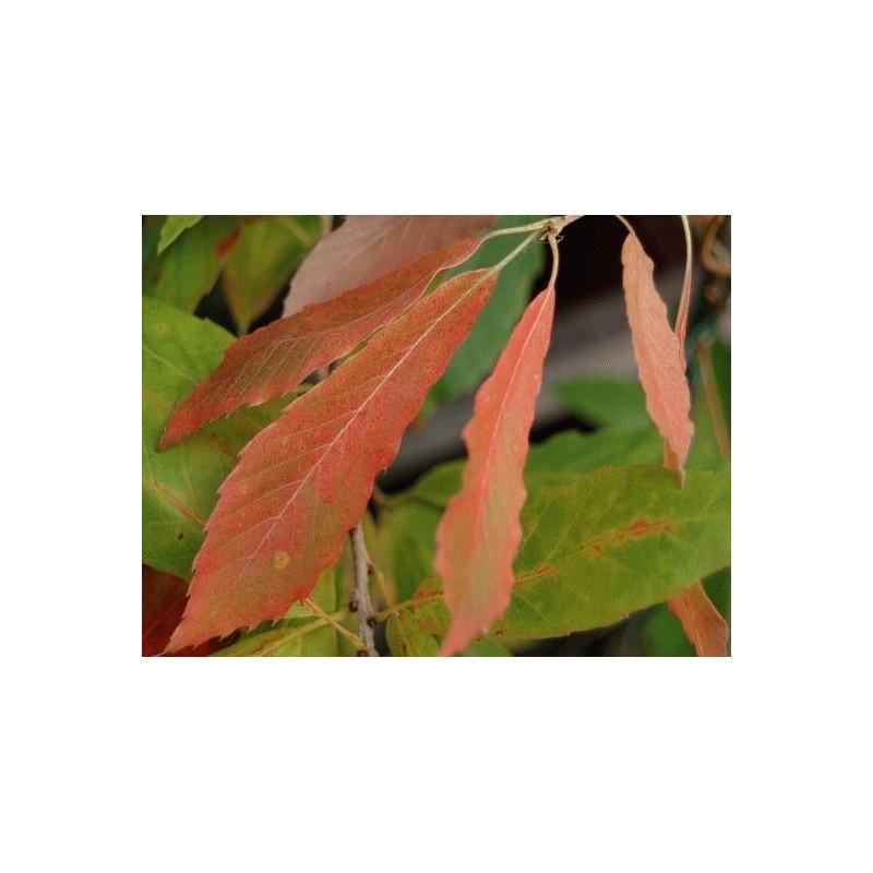 Quercus serrata 'Herkenrode' - autumn colour