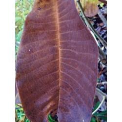 Magnolia officinalis var biloba