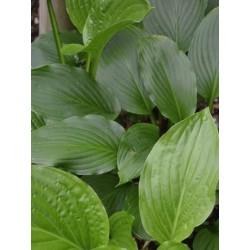 Hosta 'Devon Green' - summer leaves
