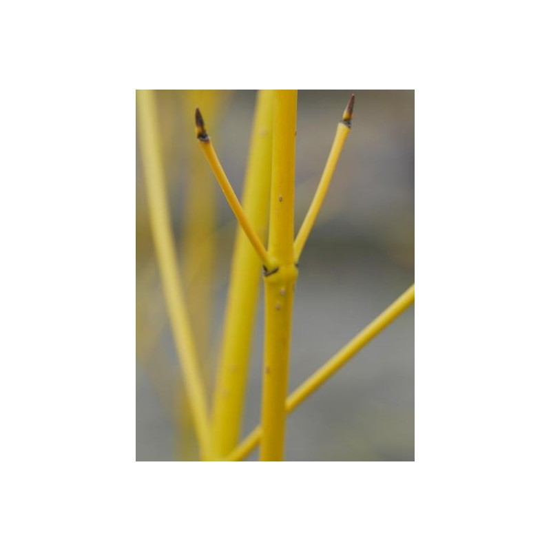Cornus Sericea Budds Yellow