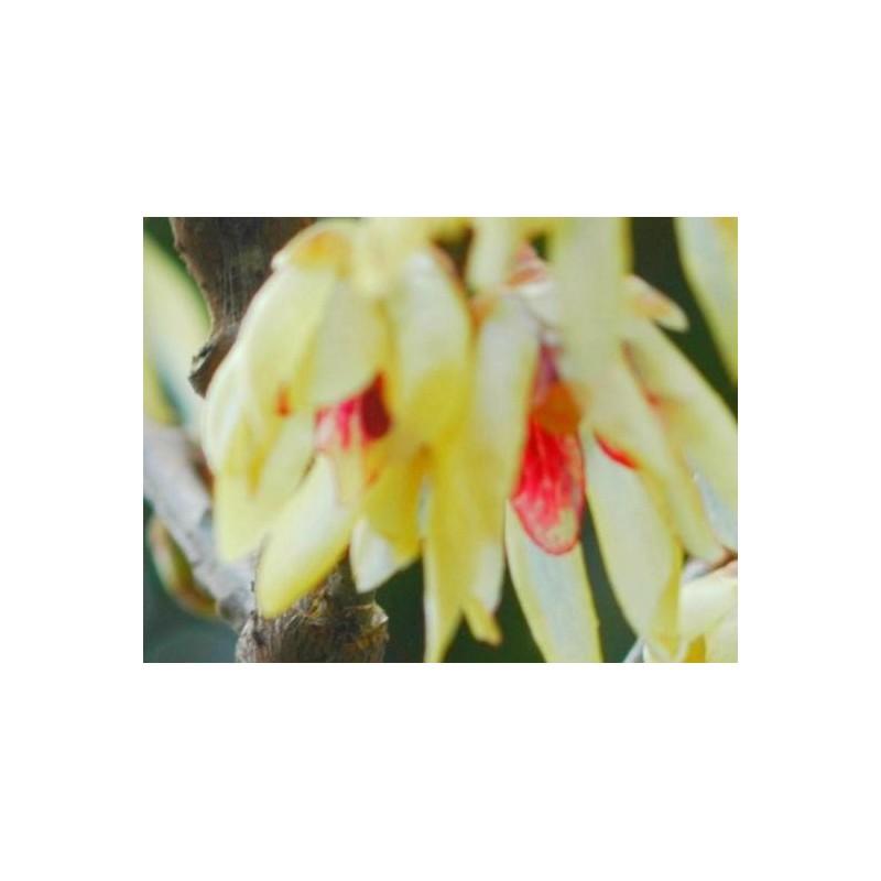 Chimonanthus praecox - winter flowers