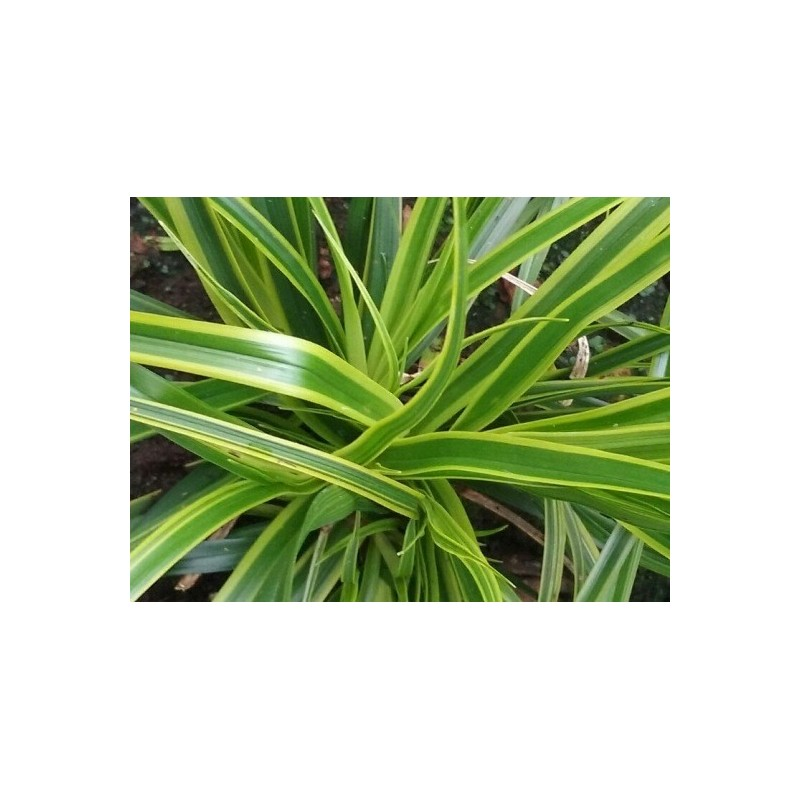 Carex oshimensis 'Everlime'