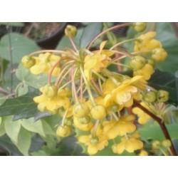 Berberis hypokerina - spring flowers