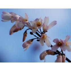 Abeliophyllum distichum spring flowers