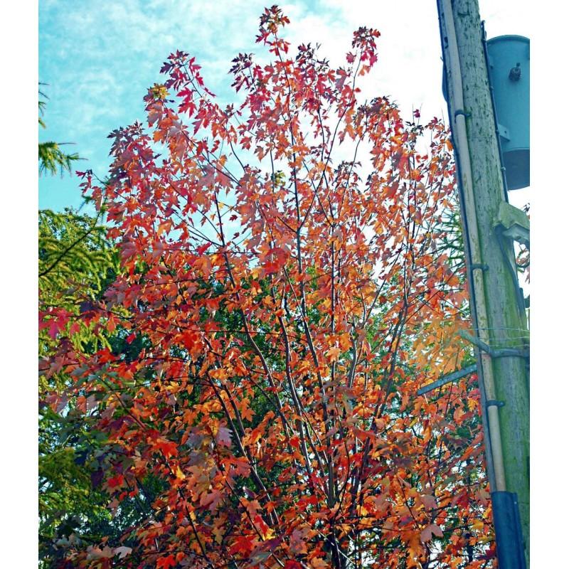 Acer x freemanii autumn colour