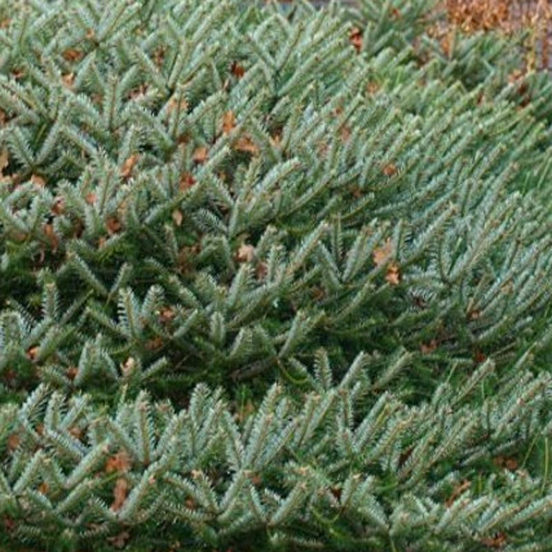 Abies x arnoldiana 'Cyrille'
