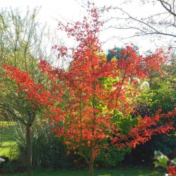 Acer campestre 'Evenley Red' - autumn colour