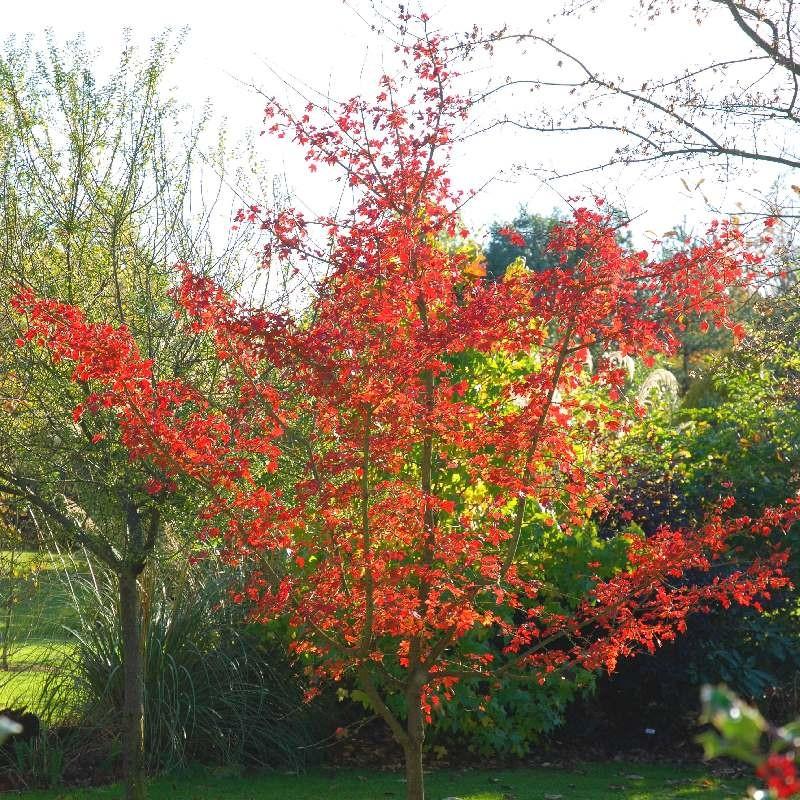 Acer campestre 'Evenley Red' - autumn colour