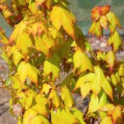 Acer cappadocicum 'Aureum' - spring leaves
