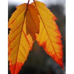 Acer davidii 'Rosalie' - autumn colour