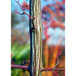 Acer davidii 'Serpentine' - bark