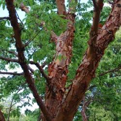 Acer griseum - peeling bark