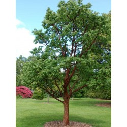 Acer griseum - small tree