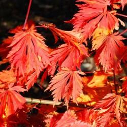 Acer japonicum 'Aconitifolium' - autumn colour