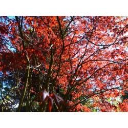 Acer palmatum 'Bloodgood' - spring leaves