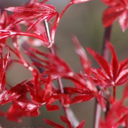 Acer palmatum 'Deshojo' - spring leaves