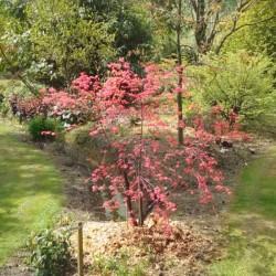 Acer palmatum 'Deshojo' - spring
