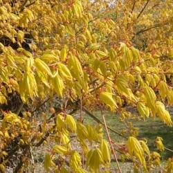 Acer palmatum 'Katsura' - spring leaves
