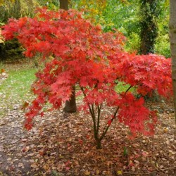 Acer palmatum 'Osakazuki' - autumn colour