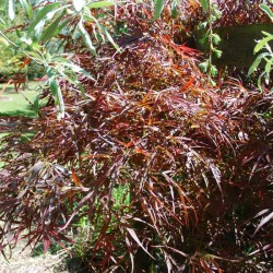 Acer palmatum 'Red Pygmy' - Spring leaves