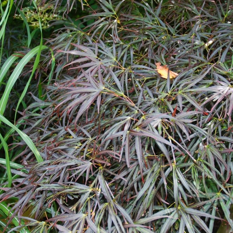Acer palmatum 'Red Pygmy' - Summer leaves