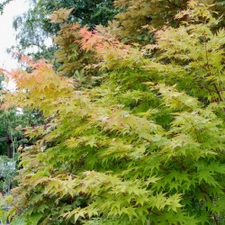 Acer palmatum 'Sango-kaku' - summer leaves