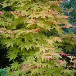 Acer palmatum 'Sango-kaku' - summer leaves