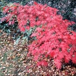Acer palmatum 'Sherwood Flame' - autumn colour