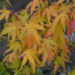 Acer palmatum 'Shin-nyo' - autumn colour