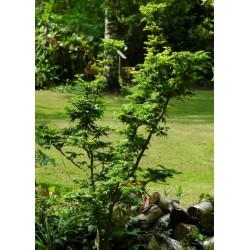 Acer palmatum 'Shishigashira' - summer leaves