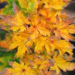 Acer palmatum 'Shishigashira' - autumn colour