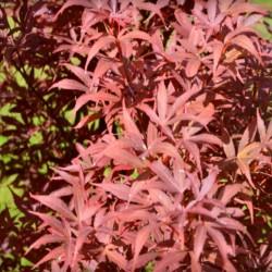 Acer palmatum 'Skeeter's Broom' - summer leaves