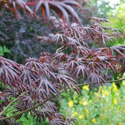 Acer palmatum 'Trompenburg' - summer leaves