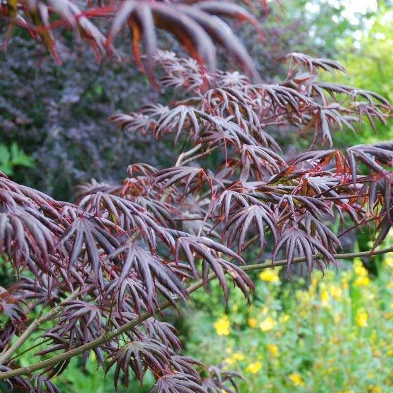 Acer palmatum 'Trompenburg' - summer leaves