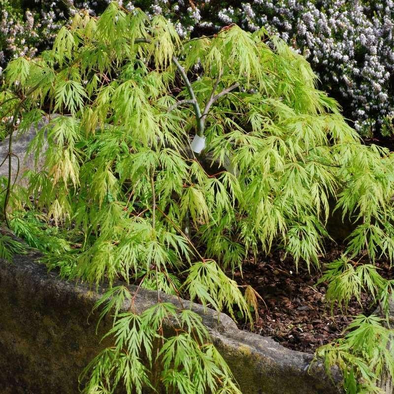 Acer palmatum Viridis