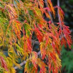 Acer palmatum 'Viridis' - autumn colour