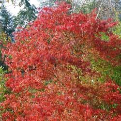 Acer palmatum 'Seiryu' - autumn colour
